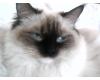 Chov. st. koček Ragdoll,, Aisch Archa.CZ
