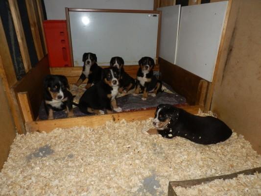 Chovatelská stanice z Kolínského Polabí - Velkého švýcarského salašnického psa